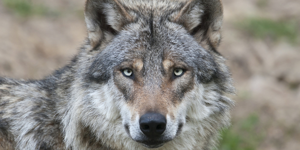 5 Foolproof Strategies to Vanish the Grey Wolves of Worry